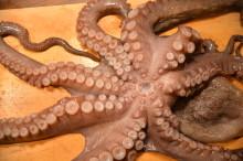 oktopus2